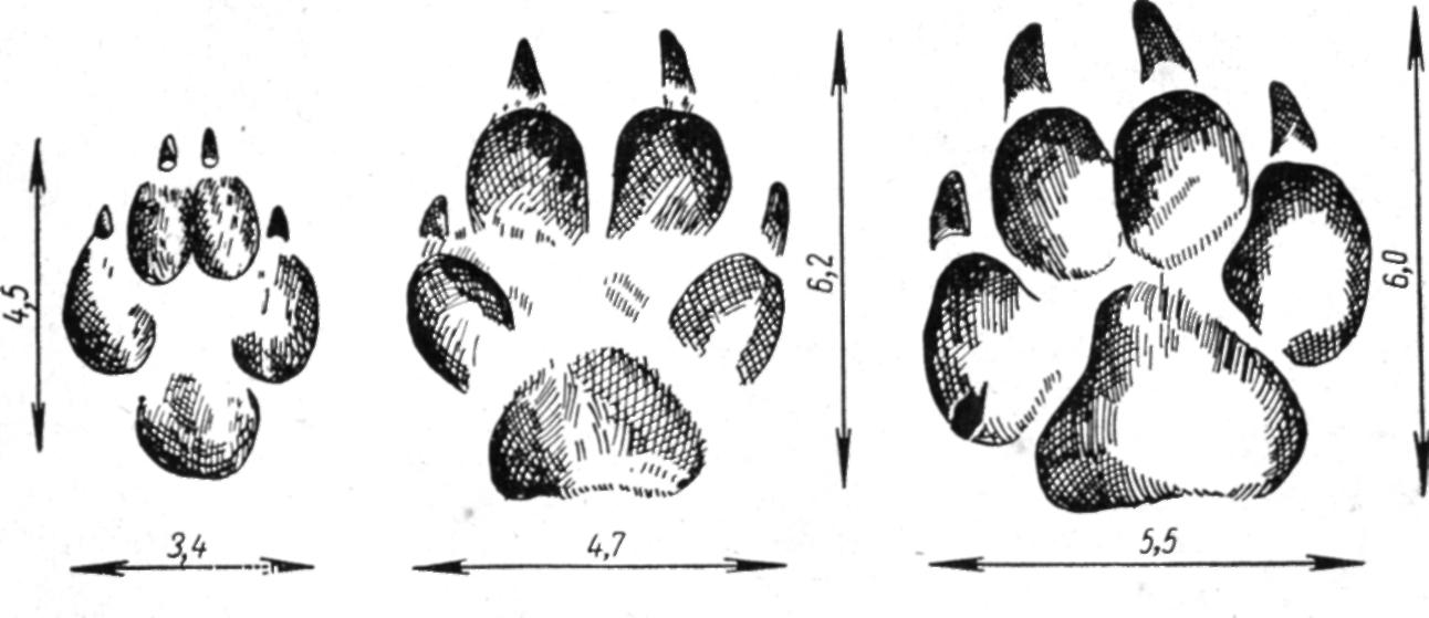 Следы правой передней лапы енотовидной собаки (слева), лисицы (в середине) и небольшой собаки (справа)