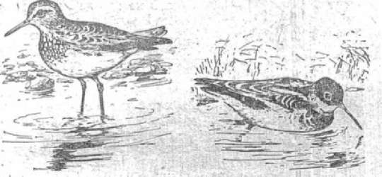 Кулик-дутыш Круглоношй плавунчик