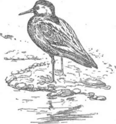 Плосконосый плавунчик