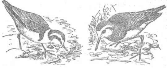 Морской зуек Каспийский зуек