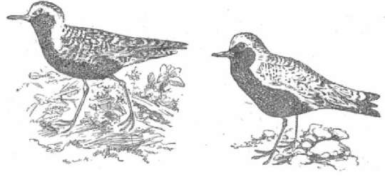 Бурокрылая ржанка Тулес