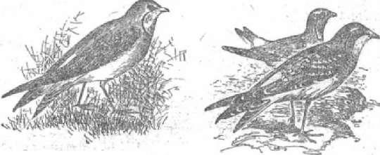 Луговая тиркушка Восточная тиркушка