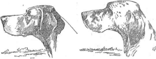 Голова пойнтера Голова крапчатого сеттера