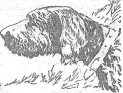Голова жесткошерстной легавой