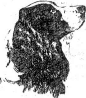 Голова спаниэля