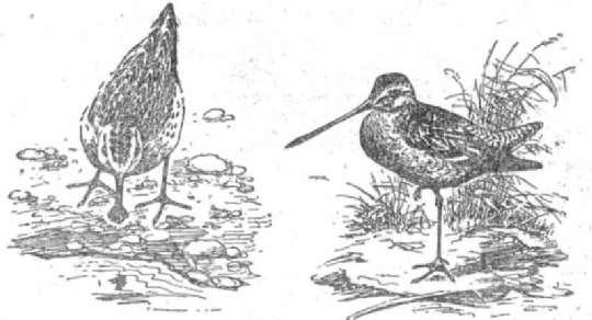 Кулик-лопатень Азиатский бекасовидный веретенник