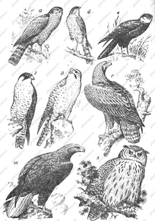 Охотничьего хозяйства хищные птицы