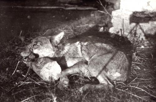Волк принятый из под выжловки русской гончей.