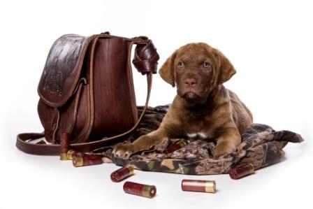 Ваш выбор – охотничий ретривер