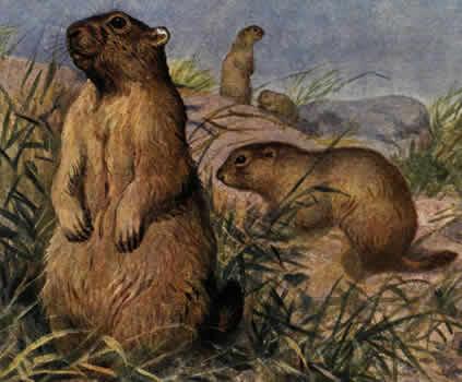 Охотничьи звери байбак marmota bobac
