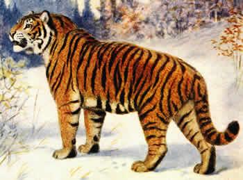 зрачки тигра фото